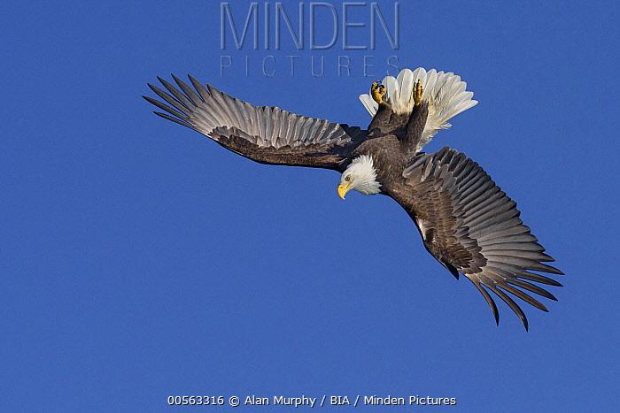 Bald Eagle (Haliaeetus leucocephalus) flying upside down, Alaska