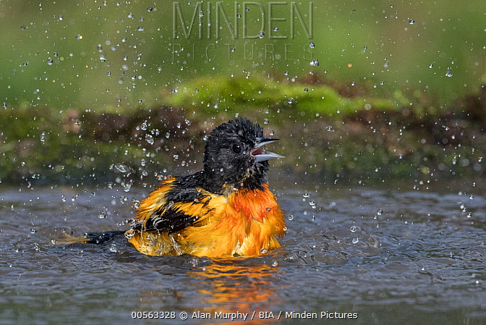 Baltimore Oriole (Icterus galbula) male bathing, Texas