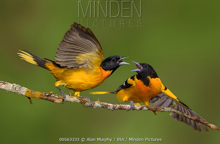 Baltimore Oriole (Icterus galbula) males fighting, Texas