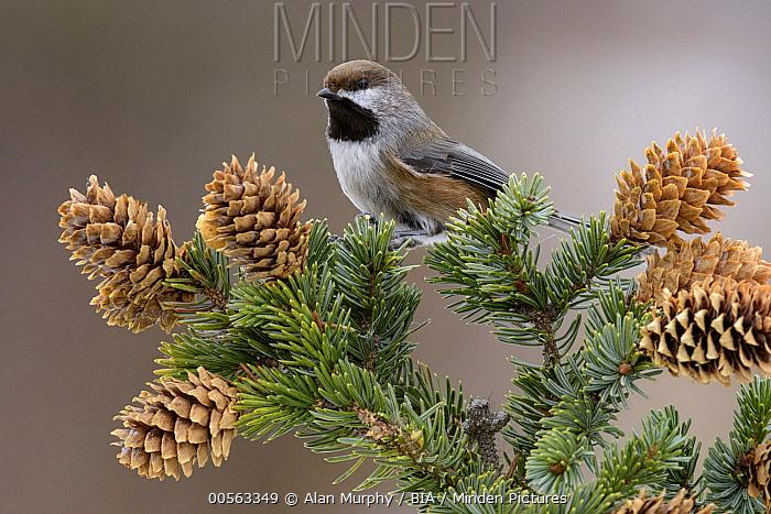 Boreal Chickadee (Poecile hudsonicus) in pine, Alaska