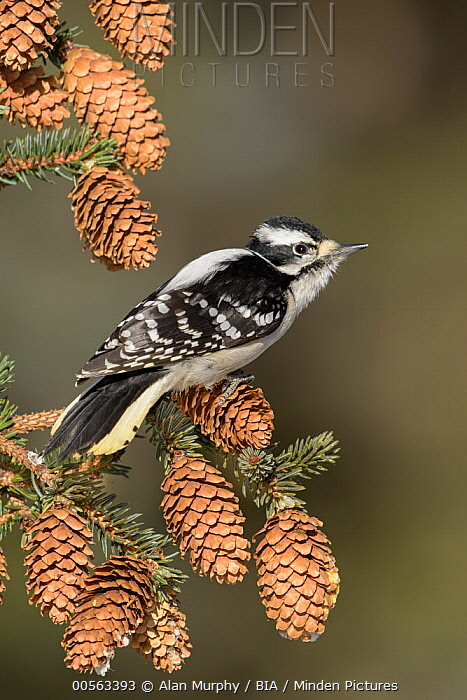 Downy Woodpecker (Picoides pubescens) female, Alaska