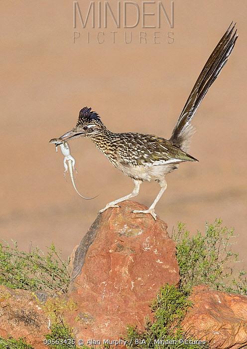 Greater Roadrunner (Geococcyx californianus) with lizard prey, Arizona