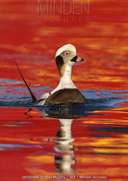 Long-tailed Duck (Clangula hyemalis) male, Alaska