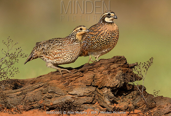 Northern Bobwhite (Colinus virginianus) female and male, Texas