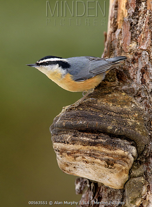 Red-breasted Nuthatch (Sitta canadensis), Alaska