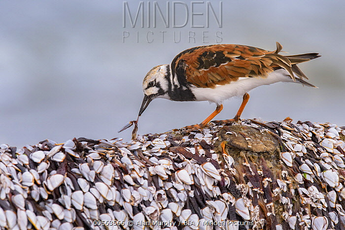 Ruddy Turnstone (Arenaria interpres) feeding on clam, Texas
