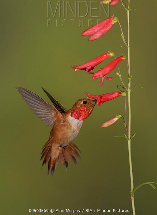 Rufous Hummingbird (Selasphorus rufus) male feeding on flower nectar, New Mexico