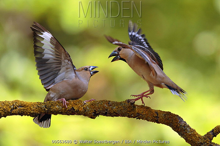 Hawfinch (Coccothraustes coccothraustes) females fighting, Utrecht, Netherlands