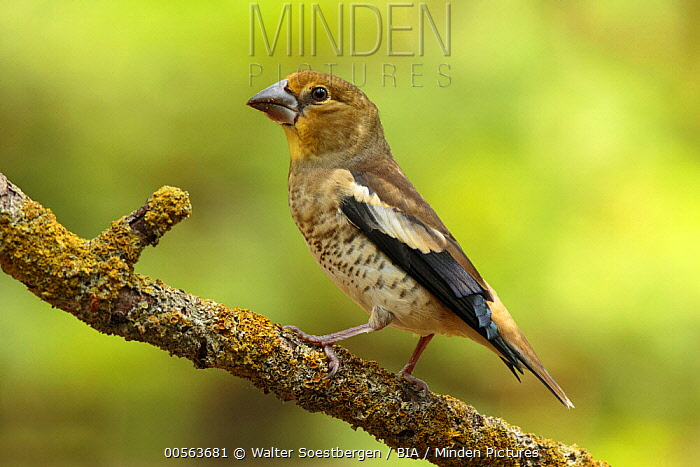 Hawfinch (Coccothraustes coccothraustes) juvenile, Utrecht, Netherlands