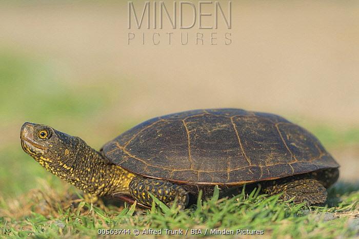 European Pond Turtle (Emys orbicularis) female, Austria