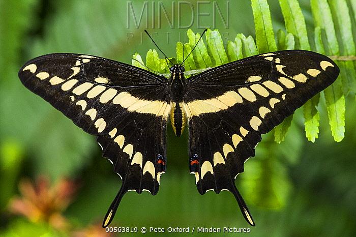 Thoas Swallowtail (Papilio thoas) butterfly, Mindo Cloud Forest, Ecuador