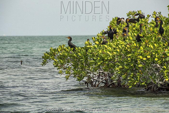 Double-crested Cormorant (Phalacrocorax auritus) group nesting in Red Mangroves (Rhizophora mangle), Biscayne Bay, Florida