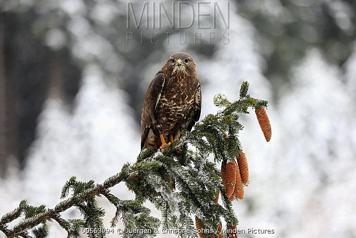 Common Buzzard (Buteo buteo) in winter, Zdarske Vrchy, Bohemian-Moravian Highlands, Czech Republic