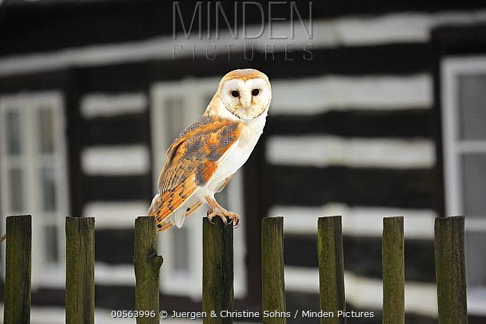 Barn Owl (Tyto alba) near building, Zdarske Vrchy, Bohemian-Moravian Highlands, Czech Republic