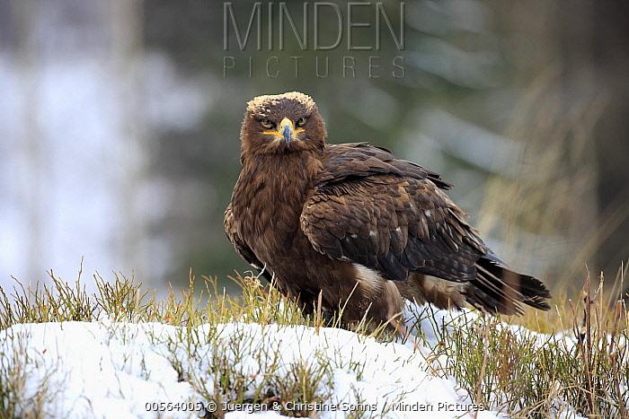 Steppe Eagle (Aquila nipalensis) in winter, Zdarske Vrchy, Bohemian-Moravian Highlands, Czech Republic