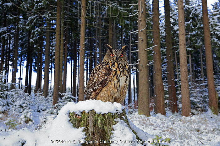 Eurasian Eagle-Owl (Bubo bubo) in forest in winter, Zdarske Vrchy, Bohemian-Moravian Highlands, Czech Republic