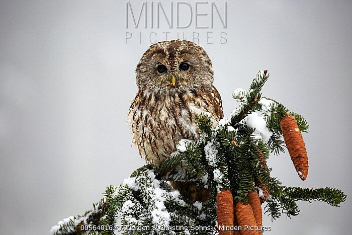 Tawny Owl (Strix aluco) in winter, Zdarske Vrchy, Bohemian-Moravian Highlands, Czech Republic