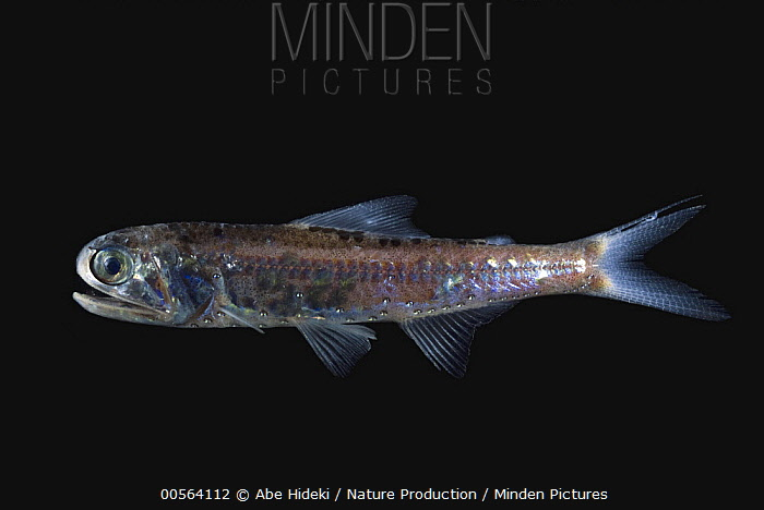 Lantern Fish | Minden Pictures Stock Photos Garman S Lantern Fish Diaphus