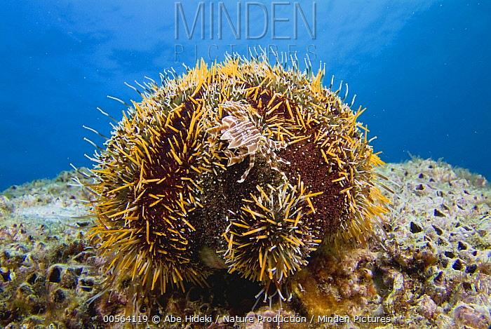 Adam's Urchin Crab (Zebrida adamsii) on sea urchin, Kashima Island, Japan
