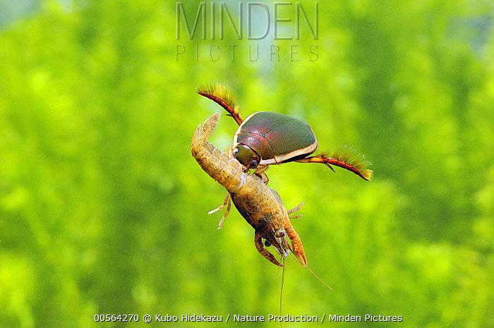 Japanese Predacious Diving Beetle (Cybister japonicus) with crawfish prey, Japan
