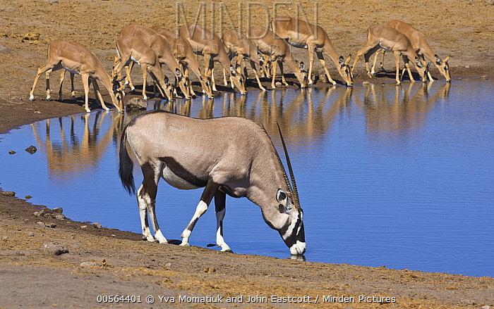 Oryx (Oryx gazella) male and Impala (Aepyceros melampus) females drinking at waterhole in dry season, Etosha National Park, Namibia