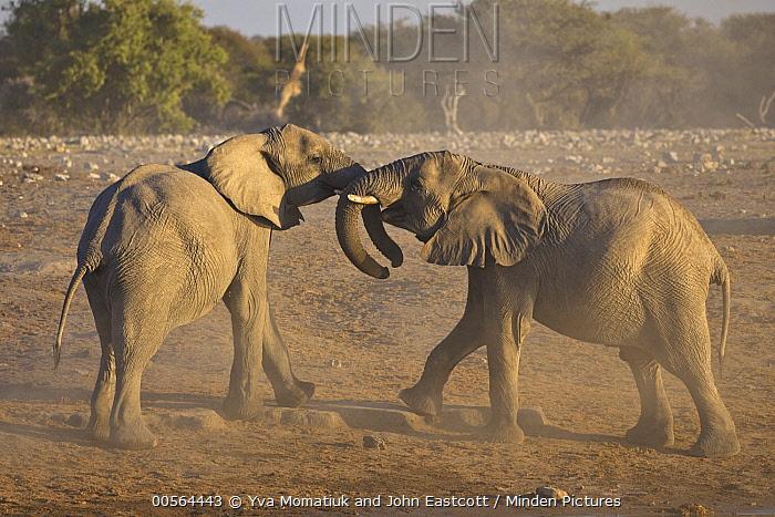 African Elephant (Loxodonta africana) sub-adult males fighting, Etosha National Park, Namibia