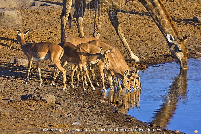 Angolan Giraffe (Giraffa giraffa angolensis) female and Impala (Aepyceros melampus) females drinking at waterhole in dry season, Etosha National Park, Namibia