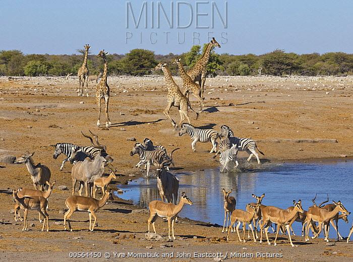 Angolan Giraffe (Giraffa giraffa angolensis) group, Impalas (Aepyceros melampus), Zebras (Equus quagga), Greater Kudus (Tragelaphus strepsiceros) running from waterhole in dry season, Etosha National Park, Namibia