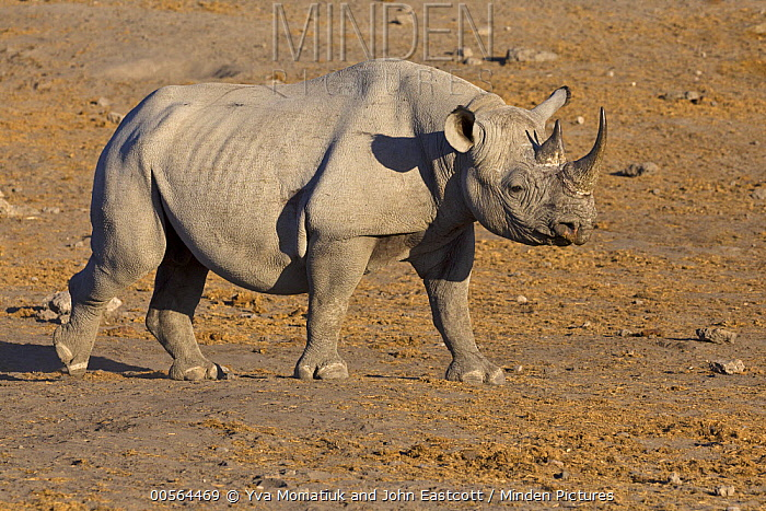Black Rhinoceros (Diceros bicornis) in dry season, Etosha National Park, Namibia