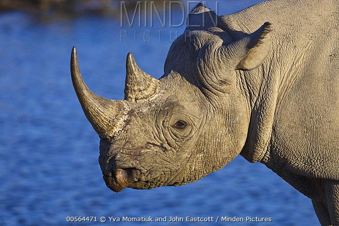 Black Rhinoceros (Diceros bicornis) near waterhole in dry season, Etosha National Park, Namibia