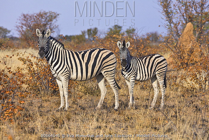 Zebra (Equus quagga) mother and foal near termite mound, Etosha National Park, Namibia