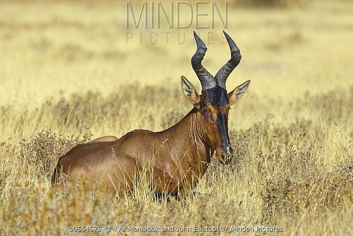 Red Hartebeest (Alcelaphus caama), Etosha National Park, Namibia