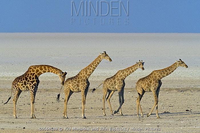 Angolan Giraffe (Giraffa giraffa angolensis) male smelling female to see if she is in estrus in salt pan, Etosha Pan, Etosha National Park, Namibia