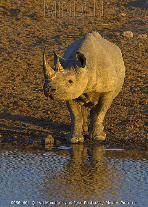 Black Rhinoceros (Diceros bicornis) at waterhole in dry season, Etosha National Park, Namibia