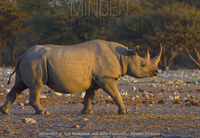 Black Rhinoceros (Diceros bicornis) in dry season, Etosha National Park, Namibia