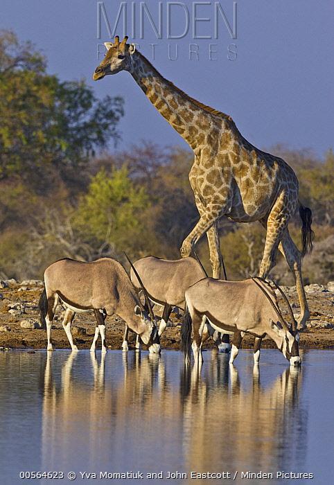 Angolan Giraffe (Giraffa giraffa angolensis) and drinking Oryx (Oryx gazella) trio at waterhole in dry season, Etosha National Park, Namibia