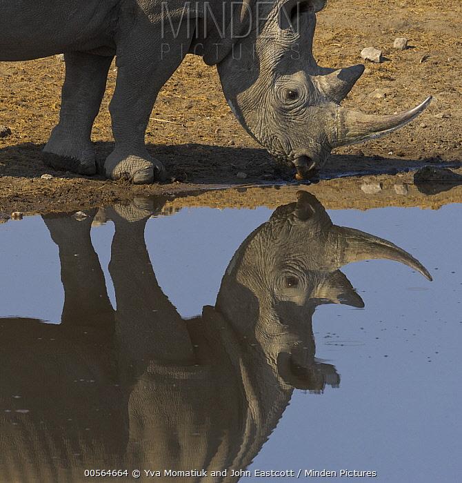 Black Rhinoceros (Diceros bicornis) drinking at waterhole in dry season, Etosha National Park, Namibia