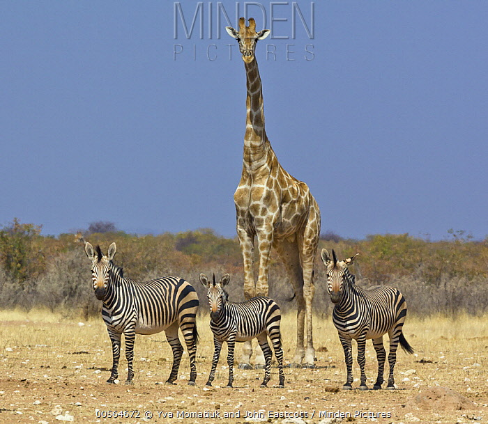 Angolan Giraffe (Giraffa giraffa angolensis) and Hartmann's Mountain Zebra (Equus zebra hartmannae) group in dry season, Etosha National Park, Namibia