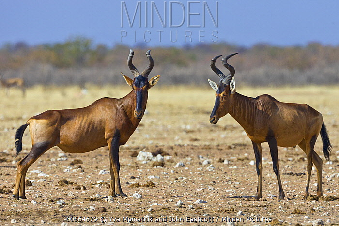 Red Hartebeest (Alcelaphus caama) pair, Etosha National Park, Namibia