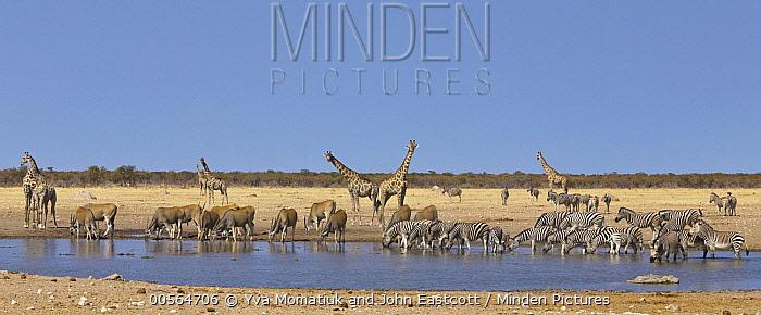Angolan Giraffe (Giraffa giraffa angolensis) group, Common Elands (Tragelaphus oryx), Zebras (Equus quagga), and Hartmann's Mountain Zebras (Equus zebra hartmannae) at waterhole in dry season, Etosha National Park, Namibia