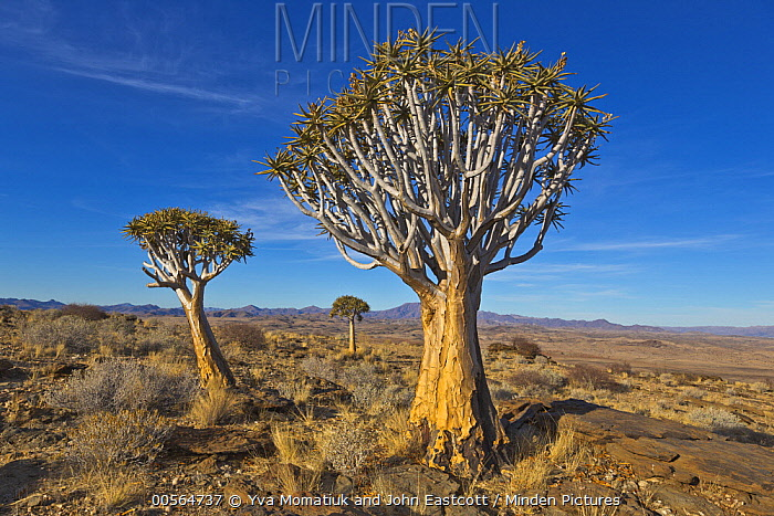Quiver Tree (Aloe dichotoma) pair in desert, Namib Desert, Namibia