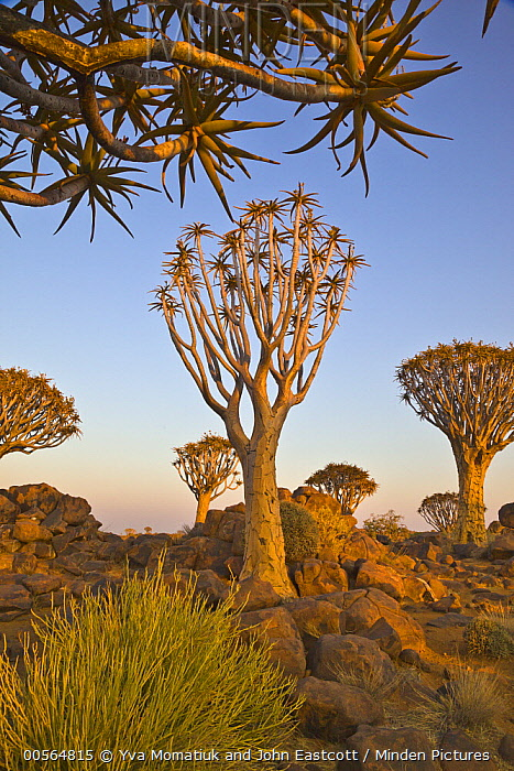 Quiver Tree (Aloe dichotoma) group, Quiver Tree Forest, Namibia