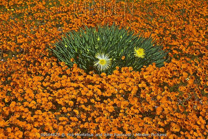 Glandular Cape Marigold (Dimorphotheca sinuata) and Narrow-leaved Iceplant (Conicosia pugioniformis) flowers in spring, Namaqualand, South Africa