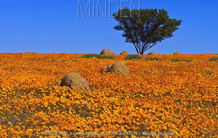 Glandular Cape Marigold (Dimorphotheca sinuata) flowers in spring, Namaqualand, South Africa