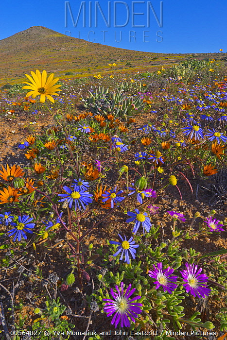 Kingfisher Daisy (Felicia bergeriana) and Dew Flower (Drosanthemum hispidum) flowers in spring, Namaqualand, South Africa