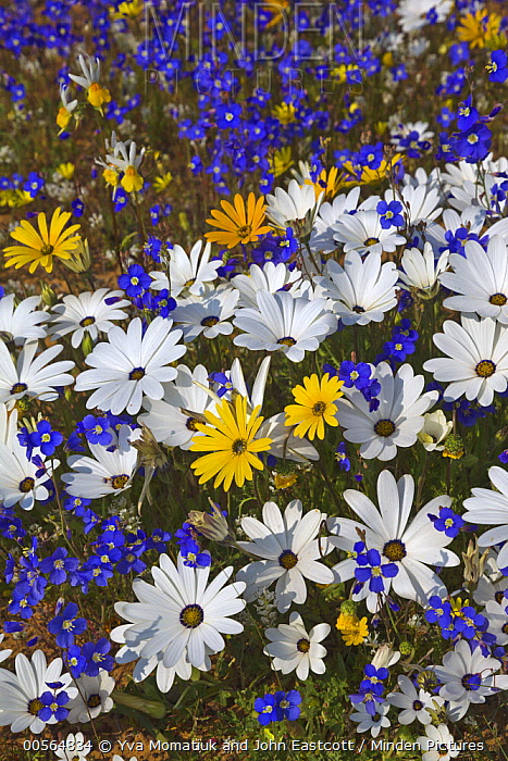 Glandular Cape Marigold (Dimorphotheca sinuata), Rain Daisy (Dimorphotheca pluvialis), and Cape Stock (Heliophila sp) flowers in spring, Namaqualand, South Africa