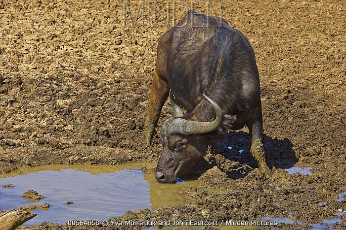 Cape Buffalo (Syncerus caffer) drinking, Mokala National Park, South Africa
