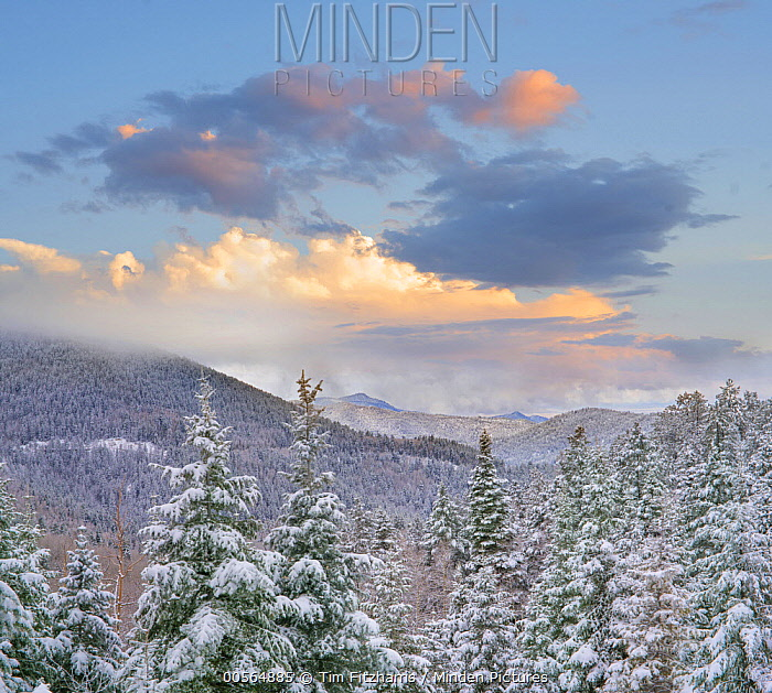 Coniferous forest in winter, Aspen Vista, Santa Fe National Forest, New Mexico