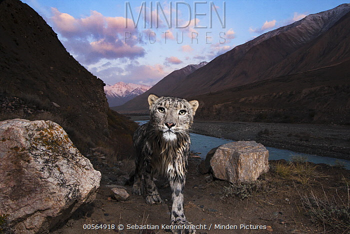 Snow Leopard (Panthera uncia) wild female, wet after having crossed river, in mountain valley, Uchkul River, Sarychat-Ertash Strict Nature Reserve, Tien Shan Mountains, eastern Kyrgyzstan