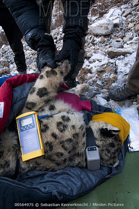 Snow Leopard (Panthera uncia) biologist, David Cooper, stimulating circulation of paw during collaring of male snow leopard, Sarychat-Ertash Strict Nature Reserve, Tien Shan Mountains, eastern Kyrgyzstan
